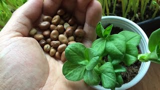How to Grow Fava Bean Microgreens - Fava Bean Shoots