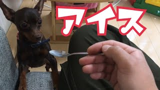 Miniature Pinscher wants to lick a spoon. ミニチュアピンシャーの花...