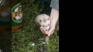 Экзотические животные : хорьки (фретки)