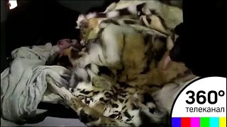 Женщина перевозила в такси шкуру амурского тигра