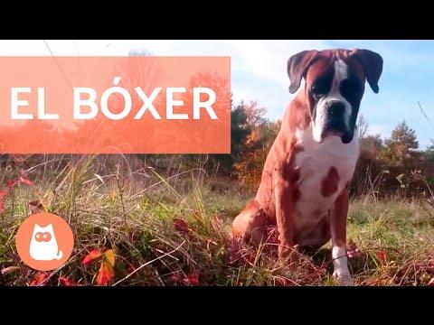 El perro bóxer - Pequeño documental