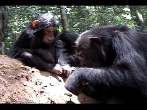 What Is The Role Of Mothers In The Acquisition Of Termite-fishing Behaviors In Wild Chimpanzees (Pa