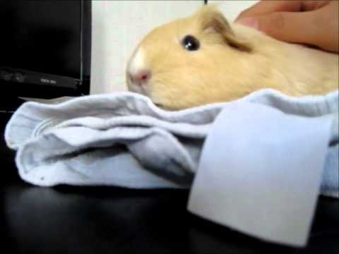 How to make a guinea pig tunnel