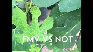 Fig Mosaic Virus: Is it a Problem!?