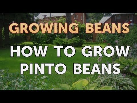 How To Grow Pinto Beans Youtube