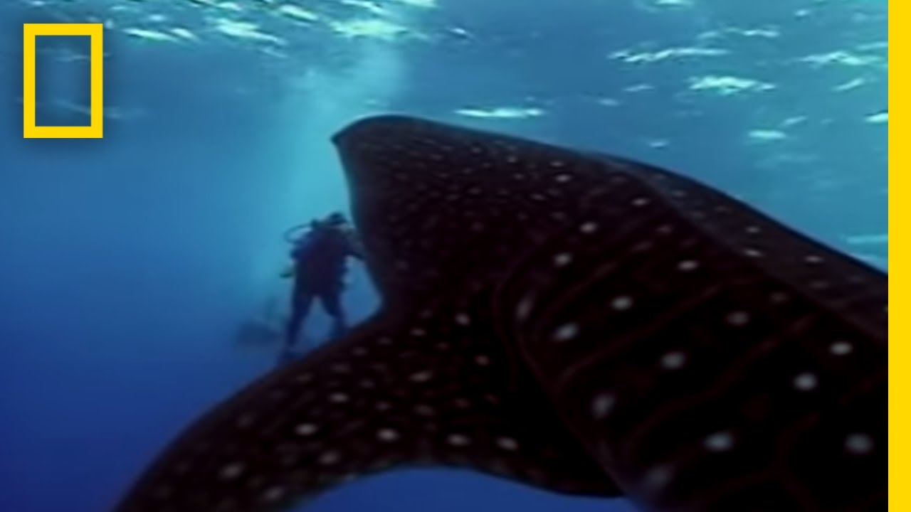 whale shark national geographic youtube