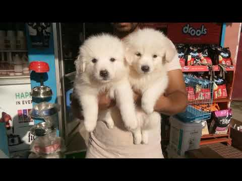 pure breed german spitz puppies available in guwahati 9101073957