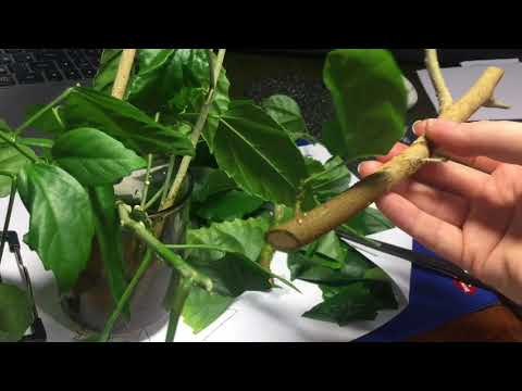 Укоренение черенков в воде! Китайская роза и олеандр.