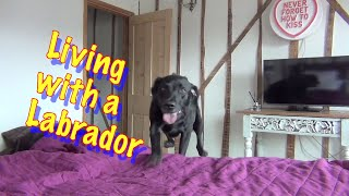 All About living with Percy the Black Labrador Retriever -cute