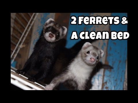 2 Ferrets & A Clean Bed - Our Other Adorable Pets - VOL. 14