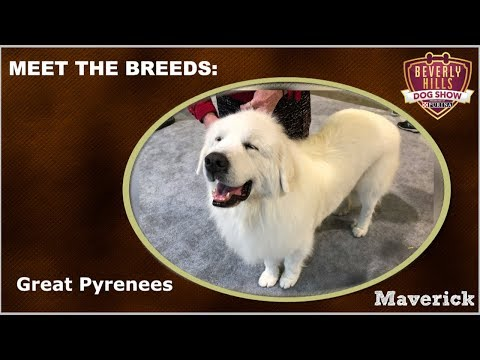 The Beverly Hills Dog Show: Meet The Breeds - Great Pyrenees