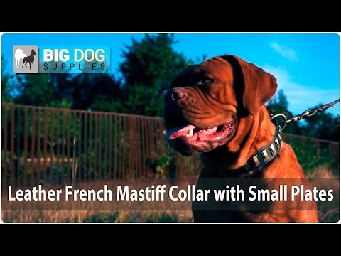 Awesome Dogue de Bordeaux (French Mastiff) in Elegant Leather Dog Collar