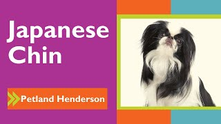 Adogable Japanese Chin Facts