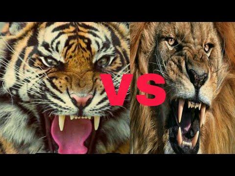Tiger Roar Vs Lion Roar || ADTV