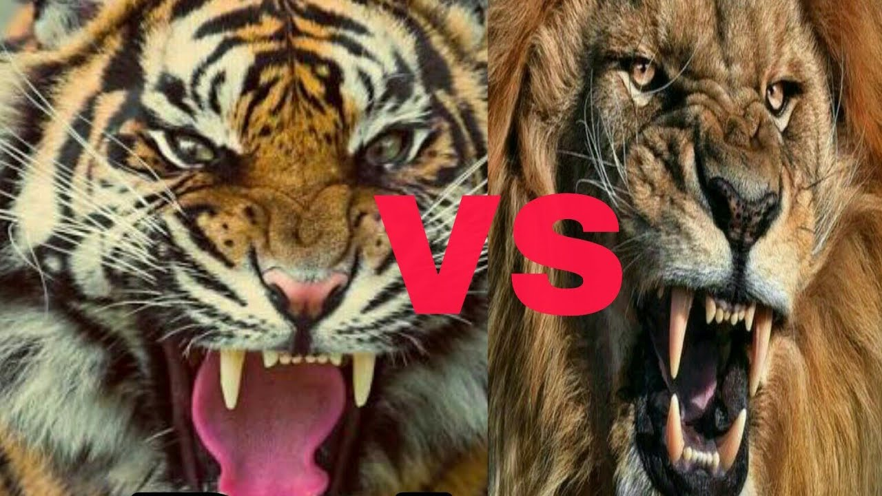 Tiger roar vs Lion roar || ADTV