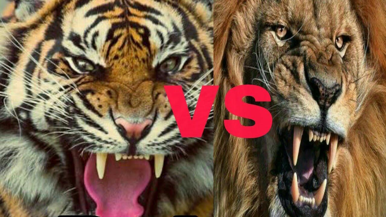 Tiger Roar Vs Lion Roar