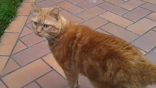 Owner comes home and calls his cat that is on the mountain - SISSI THE RED CAT