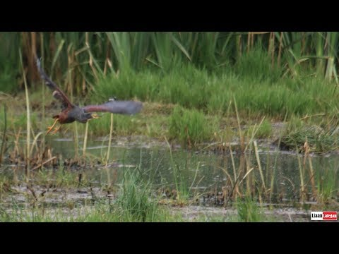 Twitching the Rufous-bellied Heron (Ardeola rufiventris)