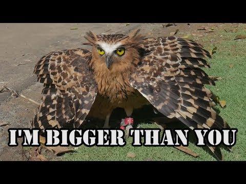 Cara Memandikan Burung Hantu Buffy Fish Owl