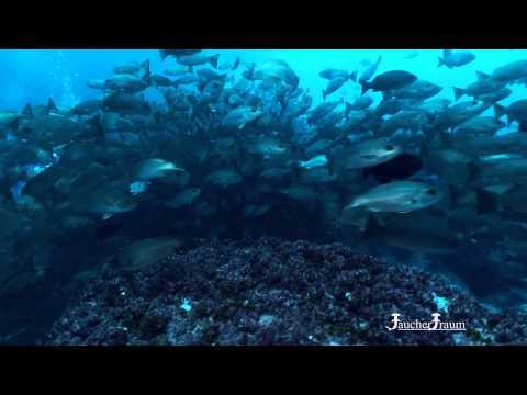 Malpelo - Tauchen mit Hammerhaien - Tauchreisen mit dem Malpelo Spezialisten
