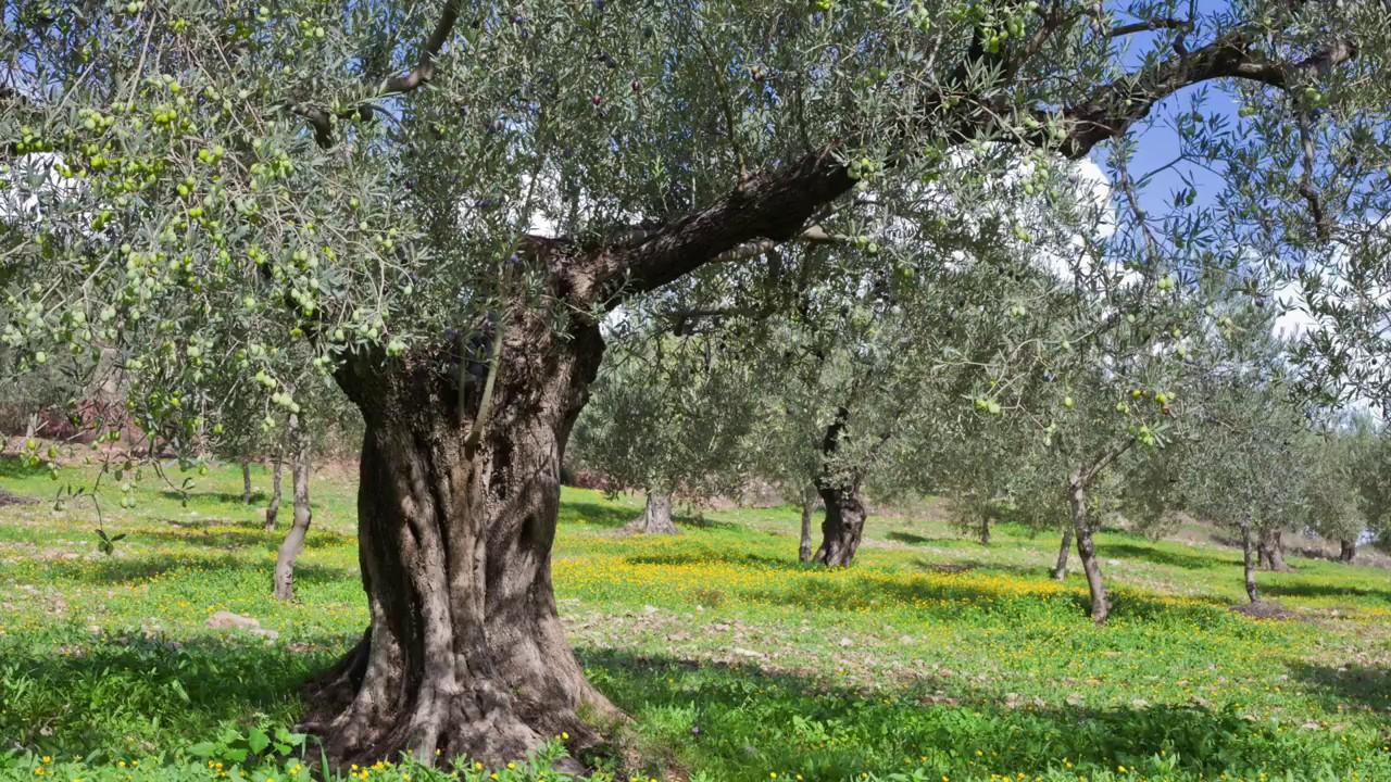 La flor de Bach Olive o Olivo