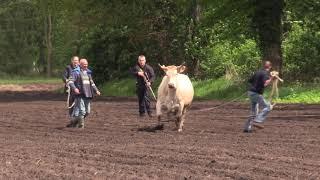 """Koe losgebroken in Eext """"Rawhide"""" N34 dicht."""