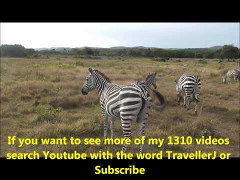 Zebras in the wild, but not in Africa. Location: Calauit island, Philippines