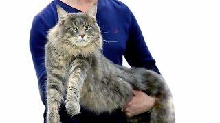Лучшие породистые коты и кошки России. Выставка кошек #5: Зрительские симпатии