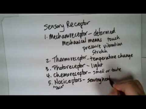 Nervous System: Receptor Classification