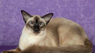 Балинезийская кошка - умна и любопытна