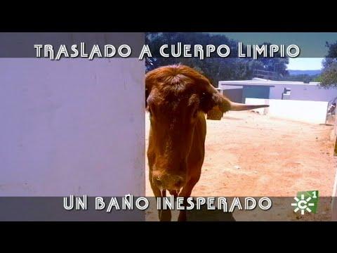 Vaca de Reservatauro con placenta: traslado a cuerpo limpio para la cura   Toros desde Andalucía