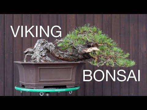 Vikings Love Bonsai, Too