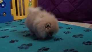 Pomeranian / Zwergspitz Welpe Rüde . 3 Monate Alt