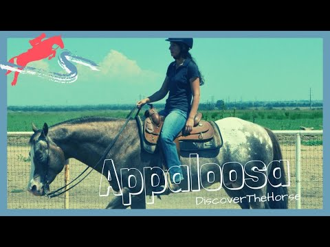 Appaloosa Horse Breed Information, History, Videos, Pictures
