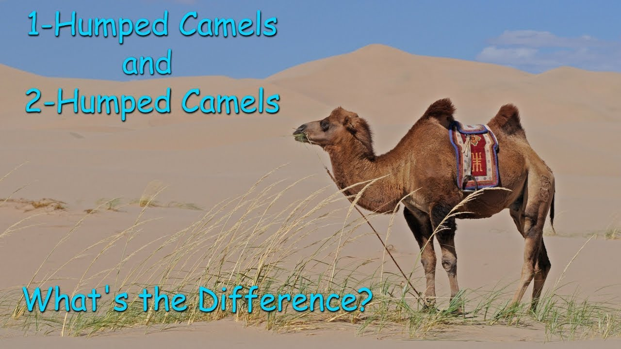 1 Humped Camels And 2 Whats The Difference