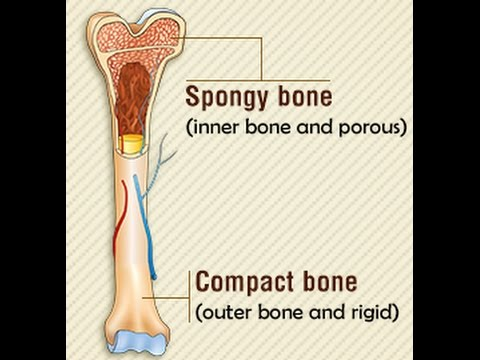 spongy bone vs compact bone - youtube, Sphenoid