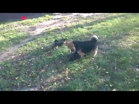 "Norwich Terrier puppies from litter ""H"" - part 3"