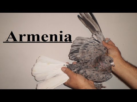 Мраморные Белохвостые Голуби - Степан Куюмджян продолжает снимать Голубеводов Армении