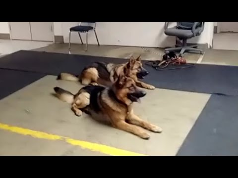 Two Dog Personal Protection Team (K9-1.com)