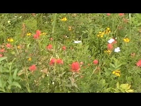Rocky Mountain Wildflowers (Glacier, Yellowstone and Teton National Parks)