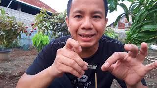 Video Teknik Sambung pucuk Durian unggul agar Cepat Berbuah. 90% Berhasil...!! download MP3, 3GP, MP4, WEBM, AVI, FLV September 2018