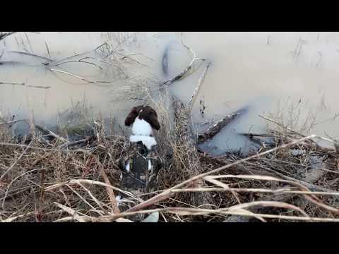 Springer Spaniels Hunt