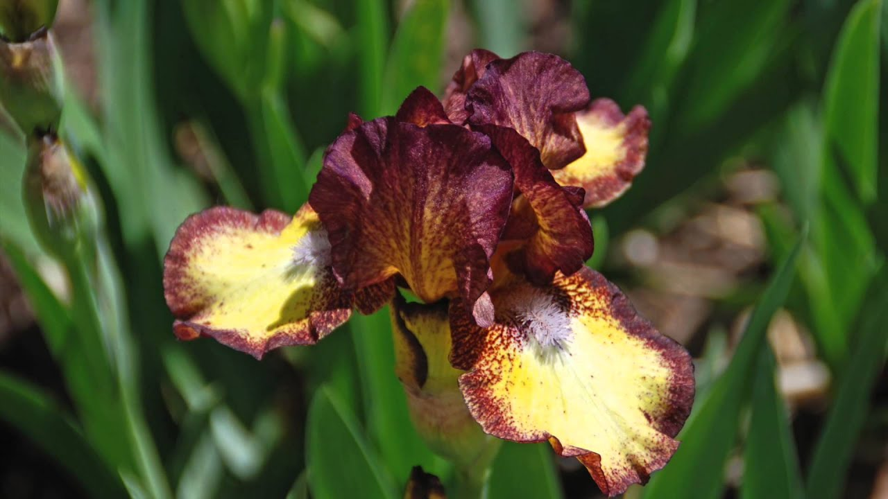 Low maintenance spring beauty bearded iris youtube low maintenance spring beauty bearded iris izmirmasajfo