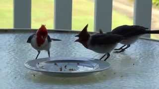 Brazilian Red Cap Cardinals Eating Kauai Island Granola