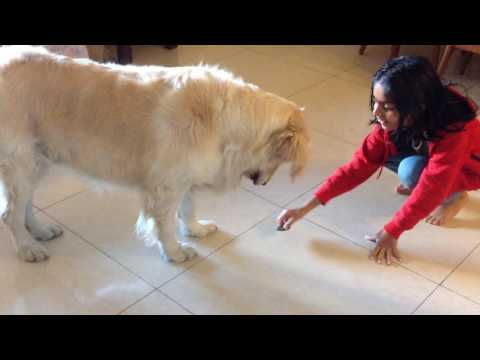 the-case-of-curious-and-funny-puppy---angel,-the-golden-retriever