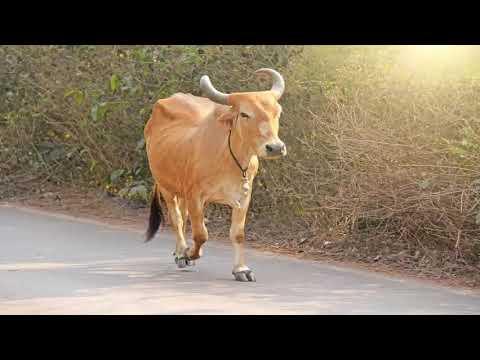 أصوات الحيوانات صوت البقرة Sound Of Cow Youtube