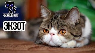 Экзоты - идеальные домашние питомцы / Интересные факты о кошках
