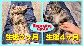 【子猫から幼猫へ】動画で見る成長の記録「わんぱくでたくましく育ちました」【アメキャッツVlog #2】