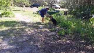 Tasha, German Shepherd, Bite Work At 5.5 Months Old