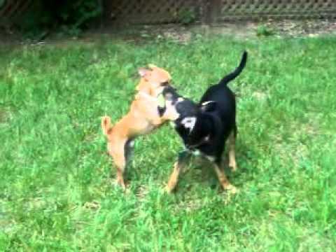 German Shepherd Lab Mix Puppy Youtube